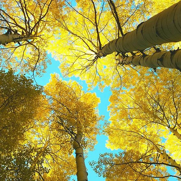 aspen grove in the sierras
